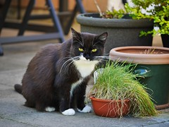 Tussi and her cat grass (vanstaffs) Tags: tussi tuzz tuxedogirl tuxedocat t tux tusse tutu tuzz myprettytuxedogirl