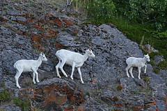 Three Generations Of Dall Sheep - Last Years Lamb, The Ewe & This Years Lamb (AlaskaFreezeFrame) Tags: dall dallsheep horns alaska alaskafreezeframe canon 70200mm outdoors nature wildlife mammals mountains fall climbing herbivores