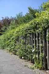 ckuchem-3592 (christine_kuchem) Tags: blte brgersteig garten gehweg glockenblumen hecke liguster naturgarten spontanwegetation zaun naturnah natrlich