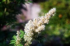 *** (pszcz9) Tags: polska poland przyroda nature ogrd garden kwiat flower zblienie closeup bokeh lato summer beautifulearth sony a77 m42 helios44m4