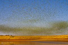 IMG_0403.jpg (Paul Williams www.IronAmmonitePhotography.com) Tags: bird budgerigar summer murmuration dryseason melopsittacusundulatus australia