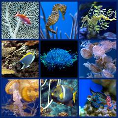 Horses and Dragons and Jellies, oh my (classymis) Tags: classymis aquarium fish jellies composite aquariumofthepacific seahorse jellyfish