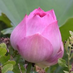 Lotus Flower (happy expat thailand) Tags: lotusflower