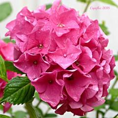 Hortensia in my garden. (Cajaflez) Tags: hortensia pink roze bloem coth5