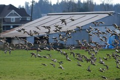Pitt Meadows BC (Ian Threlkeld) Tags: nature birds barn flying duck nikon flickr bc britishcolumbia farm flight barns ducks farmland explore fields farms birdwatching irt farmlife naturephotography bcoutdoors pittmeadows beautifulbc ducksunlimited nikonphotography ridgemeadows hellobc explorebc d7000 mynikonlife