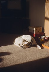 Dog Tired (bigalid) Tags: 120 film march brownie dumfries c41 2015 kodakbrownieno2 lomography100cn tybctpd