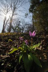 DS7_5347.jpg (d3_plus) Tags: sky plant flower nature japan walking spring scenery bokeh hiking wideangle daily bloom    kanagawa   dailyphoto    thesedays erythronium superwideangle sagamihara    dogtoothviolet     shiroyama  a05 erythroniumjaponicum   1735mmf284 tamronspaf1735mmf284dildasphericalif tamronspaf1735mmf284dildaspherical d700   nikond700 tamronspaf1735mmf284dild tamronspaf1735mmf284  tamronspaf1735mmf284dildasphericalifmodela05 dogtoothvioletvillage