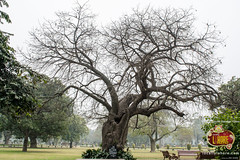 One of the oldest tree of Bagh-e-Jinnah (Lawrence Garden) (Locally Lahore) Tags: pakistan lahore lawrencegardens baghejinnah jinnahgarden parksinlahore gardensoflahore locallylahore historicalgardensoflahore libraryingarden