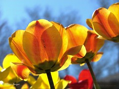 Pretty Tulips_Looking from below (sh10453) Tags: usa michigan oakpark
