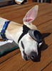 Smiling (DiamondBonz) Tags: dog pet cute goggles hound adorable whippet spanky