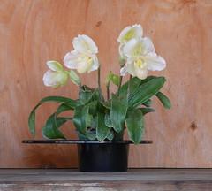 Paphs in ikebana vase (cieneguitan) Tags: flower lan vase bunga orkid okid angrek anggerek