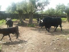 Granadilla, Cáceres (Rosaternero) Tags: naturaleza rural spain pueblo ruinas toros ganado turismo cáceres granadilla puebloabandonado extremadura antigüedad geografíahumana