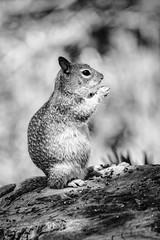 Still Nibbling (brev99) Tags: blackandwhite squirrel colorefex niksoftware d7100 ononesoftware darkenlightencenter topazdenoise topazclarity tamron70300vc highqualityanimals perfectphotosuite9