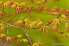 Frühlingsfarben (grafenhans) Tags: sony alpha 700 tamron garten farben frühling ahorn a700 alpha700 grafenwald 2870200