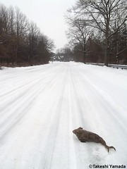 Seara (sea rabbit) on the snow covered ground on March 1, 2015. The Northeastern United States experienced another very cold (far below average temperature) and longer winter months during 2014 and 2015. New York.  20150301 063=2020== (searabbits23) Tags: food ny newyork sexy celebrity art hat fashion animal brooklyn painting asian coneyisland japanese star costume tv google king artist dragon god cosplay manhattan wildlife famous gothic goth performance pop taxidermy cnn tuxedo bikini tophat unitednations playboy entertainer takeshi samurai genius mermaid amc johnnydepp mardigras salvadordali unicorn billclinton billgates aol vangogh curiosities sideshow jeffkoons globalwarming takashimurakami pablopicasso steampunk yamada damienhirst cryptozoology freakshow barackobama seara immortalized takeshiyamada museumofworldwonders roguetaxidermy searabbit ladygaga climategate minnesotaassociationofroguetaxidermists
