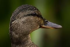 _MG_7520-Edited.jpg (Kico Lopez) Tags: rio spain aves galicia handheld lugo mio anadereal ef55250
