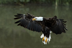 Coming in for a landing (Susan Newgewirtz) Tags: ontario nikon eagle outdoor wildlife raptor americanbaldeagle wildlifephotography nikond750