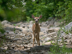 Bambi (sbuckinghamnj) Tags: newjersey deer fawn bambi spartamountain spartamountainwma