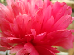 petals, petals, petals (3) (VERUSHKA4) Tags: album flora peony canon nature europe russia moscow city petal red summer june vue view botanic garden flame fire beautiful