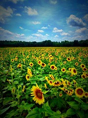 Afternoon Sunflower Stop (Moments With Brad) Tags: flowers sunflowers fauna northcarolina travel explore nature photography south