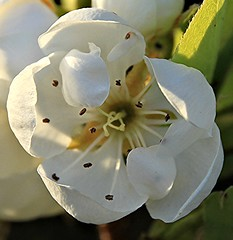 interno di un fiore - Pianello di Ostra (walterino1962) Tags: fiore petali corolla pistilli luci ombre riflessi pianellodiostra ancona