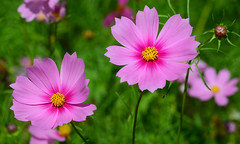 Twin Beauties (hpaich) Tags: flower flora floral bloom blossom garden cosmos summer nature natural color colorful
