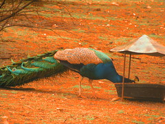 indian peafowl eating halloween (TynonUser) Tags: show eve halloween barn dinner scary october all jane pumpkins gray eerie haunted angie projection childrens haunting slideshow scare 31 hallows