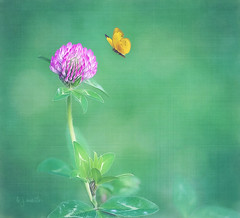 a clover kind of day (Betty Jo ) Tags: field clover butterfly nature texture textured summer ngc npc