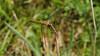 Libelle (Oerliuschi) Tags: wasser teich libelle grashalm fluginsekt