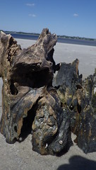 Driftwood Beach Jekyll Island, GA - IMGP4673 (catchesthelight) Tags: driftwoodbeach georgiasmostcompellingbeaches jekyllislandga barrierisland oneofthemostinterestingshorelines whitesand oaktrees driftwood gnarly naturalgraveyard preservation beauty light shadow texture