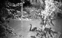 The one black swan (Arne Kuilman) Tags: germany 6x9 mediumformat 1930s thirties europe blackandwhite photonotmine maxmller ldenscheid swan zwaan swans blackswan