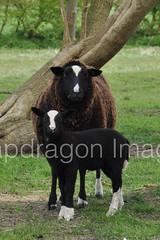 Zwartbles sheep (Snapdragon Lincs) Tags: baby cute field loving countryside sheep farm lincolnshire mum lamb ewe howsham