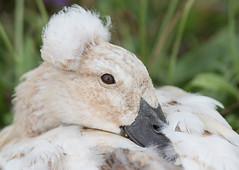 Crested Pekin Duck (ToriAndrewsPhotography) Tags: escapee crested pekin duck white pet abberton reservoir essex colchester photography andrews tori