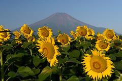 Sunflowers (DSC_6704_LR) (Fumitaket) Tags:   jp sunflowers fuji mountain