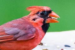 IMG_2522 (Sharon Shifflett) Tags: birds cardinal
