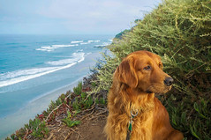 Sunrise Watch (kirstenscamera) Tags: ollie dog puppy goldenretriever swamis beach ocean nikon cliffs shore coast dunes sand palm trees cypress nose water pacificocean california ca sd sandiego encinitas outdoors nature sunrise morning waiting waves whitecaps tide plants green blue overcast sky cloudy clouds sage air orange