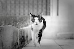Skippy (Little Boy 09) Tags: cat chat gato little tiger bokeh