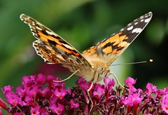 Distelfalter (Hugo von Schreck) Tags: hugovonschreck distelfalter butterfly schmetterling falter insect insekt macro makro outdoor canoneos5dsr