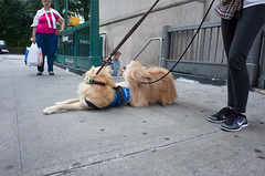 Altair, Service Dog (Charley Lhasa) Tags: ricohgrii grii 183mm 28mm35mmequivalent iso400 secatf28 0ev aperturepriority pattern noflash r008496 dng uncropped taken160731182001 uploaded160802114324 2stars flagged adobelightroomcc20156 lightroomcc20156 adobelightroom lightroom charley charleylhasa lhasaapso dog altair servicedog dogs dogsmet 72st 72ndstreet subwayentrance subway subwaystation mta upperwestside uws manhattan newyorkcity nyc newyork ny tumblr160802 httpstmblrcozpjiby2abgemo