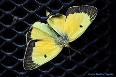 Even the Beautiful Die (Walt Snyder) Tags: canoneos5dmkiii canonef100mmf28macrolens butterfly dead death yellow black grill grate
