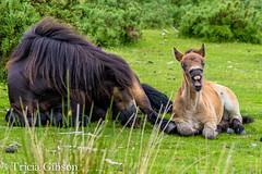 Its hard work being a foal too mum! (devonteg) Tags: 522016week24 giveusyourbestshot exmoorponies mare foal filly bullen yawn snooze freelivingherd exmoor