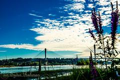 Port Mann Bridge and Wild Flowers (Syd Rahman) Tags: bc canada colonyfarmregionalpark coquitlambc d7000 dslr flowers fraserriver gardens heron mertovancouver nikon nikond7000 park parkbc parkcanada portmannbridge red syd sydrahman sydur sydurrahman water followme wildflowers today travel bridge iso