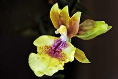 Orchid (chooyutshing) Tags: flower orchid singaporegardenfestival2016 themeadow gardensbythebay baysouth marinabay singapore