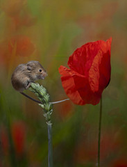 Harvest Mouse-Poppy (brian_stoddart) Tags: painterly mouse poppy copper cloud silver sun