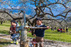 Harry_23328a,,,,,,,,,,,,,,,,,,,,,,,,,,,,Plum,Plum Tree,Tree,Fruit,Farm (HarryTaiwan) Tags: tree fruit nikon farm plum taiwan     plumtree d800                            harryhuang  hgf78354ms35hinetnet  adobergb