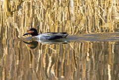 _K4A2591crcdsm (eslingermj) Tags: bird birds swimming swim canon duck wildlife ducks fowl prairie swimmers waterfowl avian birdsanctuary cherrycreekreservoir rockymountainwildlife rockymountainarsenal birdpreserve prairiewildlife mjeslinger eslingermj