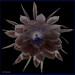 Closeup Epiphyllum oxypetalum Queen of the Night  Dutchman's pipe Closeup solarized