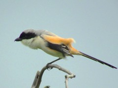 Hairy (CharlesLam) Tags: bird taiwan laniusschach longtailedshrike kclama