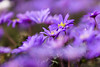 Anémone de Grèce (Sicong (OFF for a while)) Tags: flower fleur sony jardindesplantes anemoneblanda a6000 anémonedegrèce sal135f18za sonnart18135