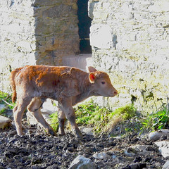First Steps! ('cosmicgirl1960') Tags: nature animals fur nose countryside milk panda cattle cows beef ears moo farms bovine yabbadabbadoo